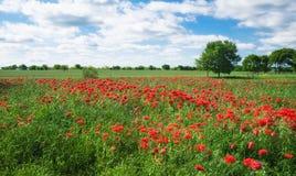 红色康乃馨鸦片领域在得克萨斯春天 免版税库存照片