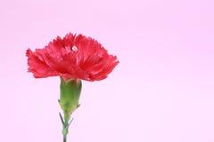红色康乃馨 免版税库存图片