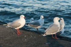 红色开帐单的海鸥群  免版税库存照片
