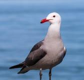 红色开帐单的海鸥 免版税图库摄影