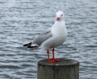 红色开帐单的海鸥(Chroicocephalus scopulinus) 库存照片
