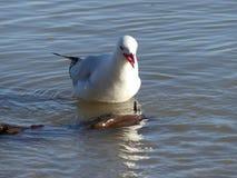 红色开帐单的鸥吃 图库摄影