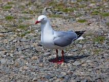 红色开帐单的鸥在木瓦海滩站立在惠灵顿,新西兰 免版税库存图片