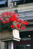 红色开花在古雅方形的木罐的大竺葵 库存照片