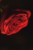 红色开花在黑背景上升了 库存图片
