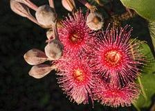 红色开花澳大利亚桉树胶树 图库摄影