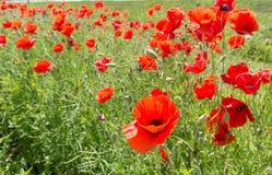 红色开花的大鸦片的领域 免版税图库摄影