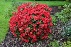 红色开花的杜鹃花在庭院里 免版税图库摄影