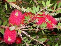 红色开花的树用白色莓果 图库摄影