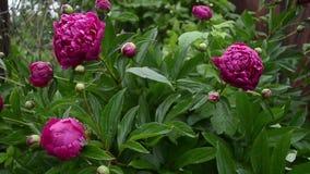 红色开花的牡丹灌木,美丽的花在庭院里在夏天 股票录像
