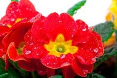 红色开花的盆的报春花 库存图片