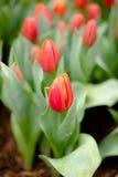 红色开花的花在春天 免版税图库摄影