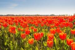 红色开花的郁金香电灯泡特写镜头  库存照片