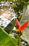 红色开花的香蕉科学名字:芭蕉科ornata Roxb 免版税库存图片