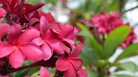 红色开花羽毛或赤素馨花分支与绿色叶子扭动在风微风 流行粉红花 r 4K 股票视频