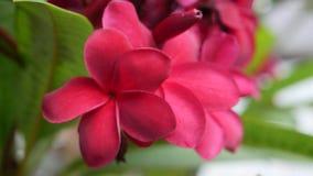 红色开花羽毛或赤素馨花分支与绿色叶子扭动在风微风 流行粉红花 r 4K 影视素材