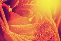 红色弄湿玫瑰色花特写镜头 例证百合红色样式葡萄酒 库存照片