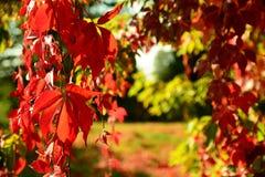 红色弗吉尼亚爬行物在秋天 库存图片