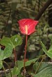 红色彩斑芋自热带温室 免版税库存照片