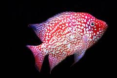 红色得克萨斯丽鱼科鱼 库存图片