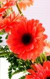 红色德兰士瓦雏菊 库存图片