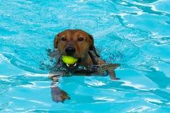 红色德国短毛猎犬游泳 免版税库存图片