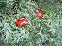 红色心脏和和云杉绿色分支,华伦泰` s天 库存照片