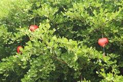红色心脏装饰在绿色树,华伦泰概念背景垂悬 免版税库存图片
