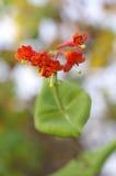 红色忍冬属植物花 库存照片