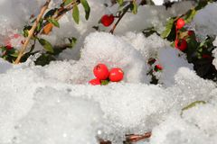 红色忍冬属植物莓果和雪 图库摄影