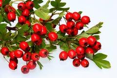 红色成熟山楂树莓果 库存照片