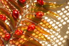 红色成熟狗玫瑰果子和分支与橙色叶子 免版税图库摄影