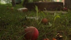 红色成熟苹果在地面上说谎在庭院里在草的一棵树下 爬行在残破和腐烂的蚂蚁 股票视频