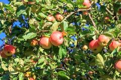 红色成熟苹果庄稼在一棵苹果树的在庭院里 免版税库存图片