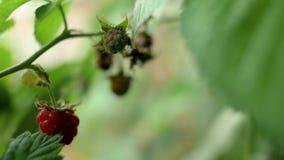 红色成熟莓和绿色未成熟的莓果在灌木增长在庭院里 4K 4K?? 股票视频