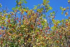 红色成熟莓果上升了反对蓝天背景 免版税库存照片