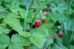 红色成熟莓果,草莓 免版税库存图片
