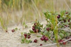 红色成熟越橘在沙子增长在绿色森林里 库存照片