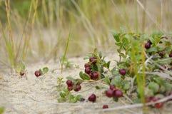红色成熟越橘在沙子增长在绿色森林里 免版税库存照片