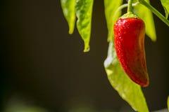红色成熟辣椒甜椒植物 免版税库存照片