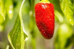 红色成熟辣椒甜椒植物 免版税库存图片