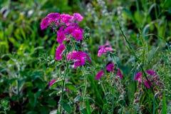 红色或紫色德拉蒙德福禄考野花 免版税库存图片