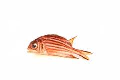 红色战士鱼 免版税库存照片