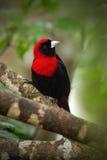 绯红色抓住衣领口的唐纳雀, Ramphocelus sanguinolentus,异乎寻常的热带红色和黑歌曲鸟形式哥斯达黎加,在绿色森林n里 免版税库存图片