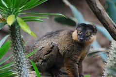 红色抓住衣领口的布朗狐猴的可爱的面孔 免版税库存照片