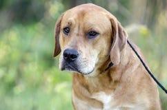 红色拉布拉多大型猛犬被混合的品种狗 库存照片