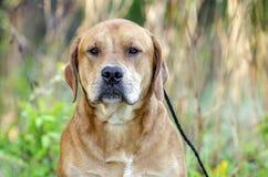 红色拉布拉多大型猛犬被混合的品种狗 库存图片