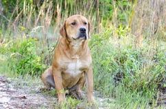 红色拉布拉多大型猛犬被混合的品种狗 免版税库存照片
