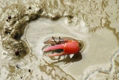 红色招潮蟹的画象 库存照片