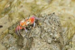 红色招潮蟹的画象 免版税库存照片